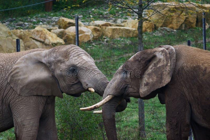 两elefants在动物园里 库存照片