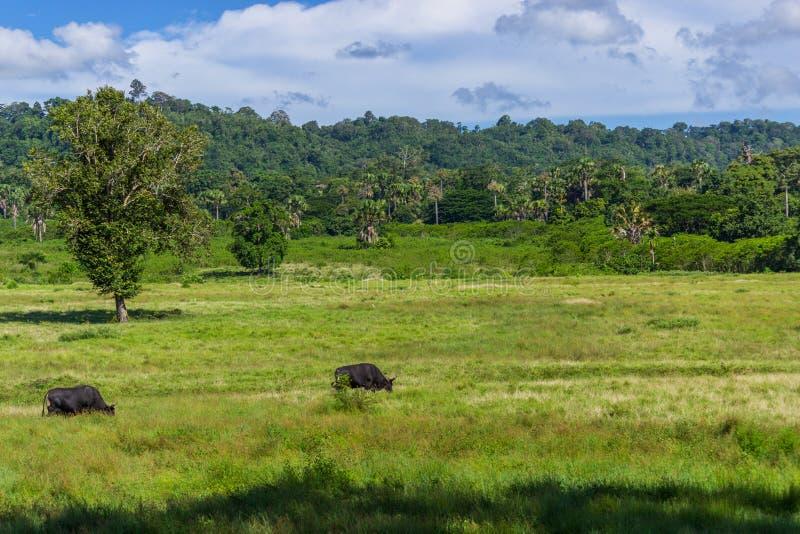 两Java Bantengs猜错Javanicus在呀Purwo国家公园 库存图片