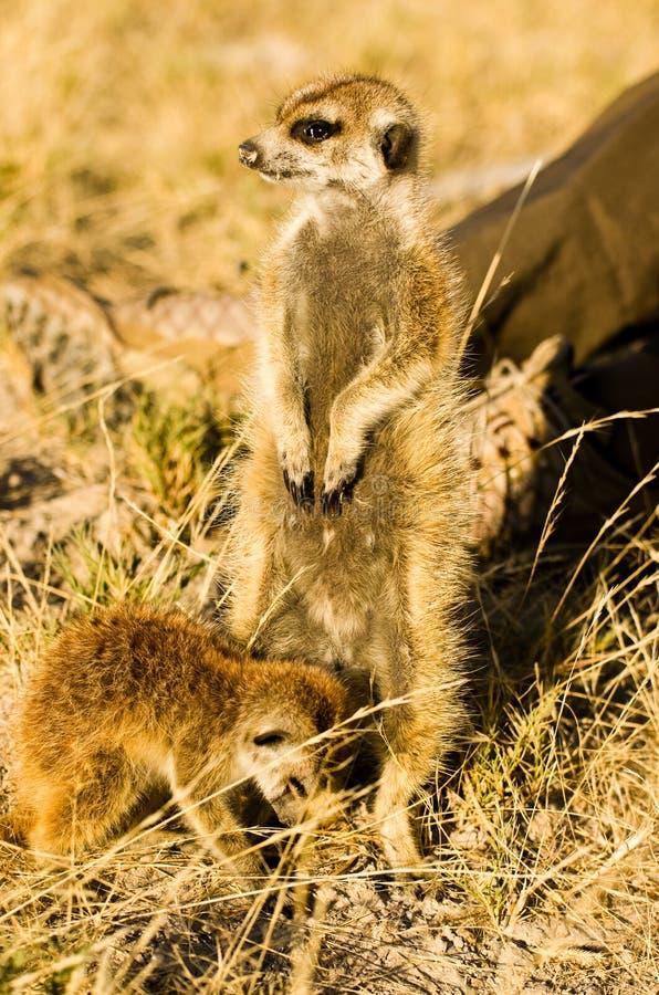 两Meerkats在博茨瓦纳 库存照片