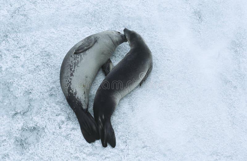 两Weddell封印(Leptonychotes Weddellii)在冰视图从上面 免版税库存图片