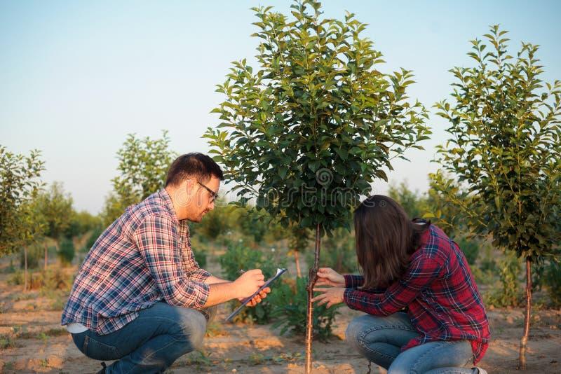 严肃的年轻女性和男性检查被嫁接的果树的农夫和农艺师在一个大果树园 免版税库存图片