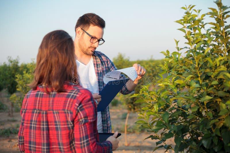 严肃的年轻工作在果树园的男性和女性农艺师或者农夫 免版税库存图片