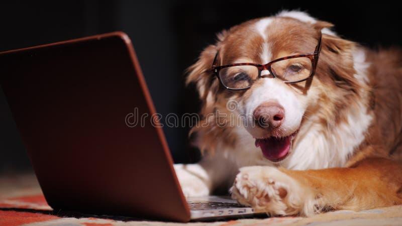 严肃的狗商人与膝上型计算机一起使用 滑稽的动物概念 免版税库存图片