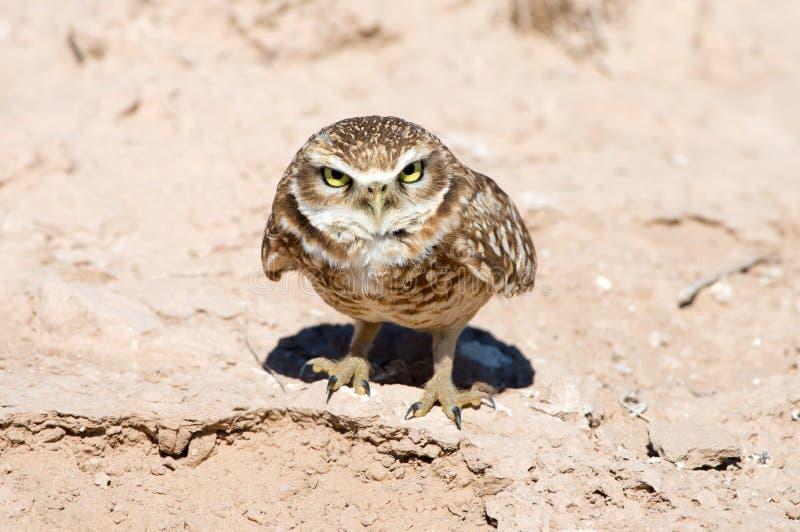严肃的看起来的挖洞的猫头鹰 图库摄影