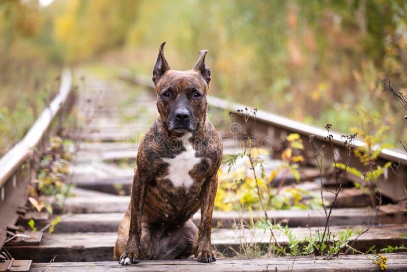 严肃的老虎狗走在被放弃的铁路 免版税库存照片