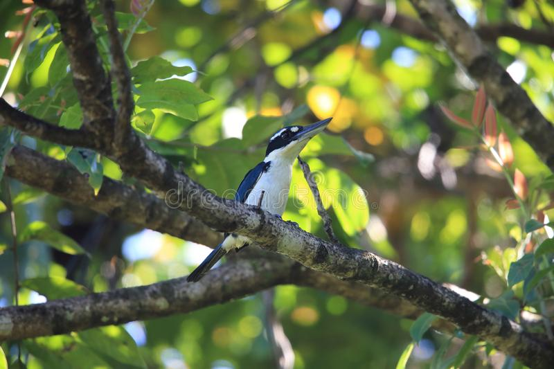 严肃翠鸟在哈马黑拉岛海岛,印度尼西亚 库存照片