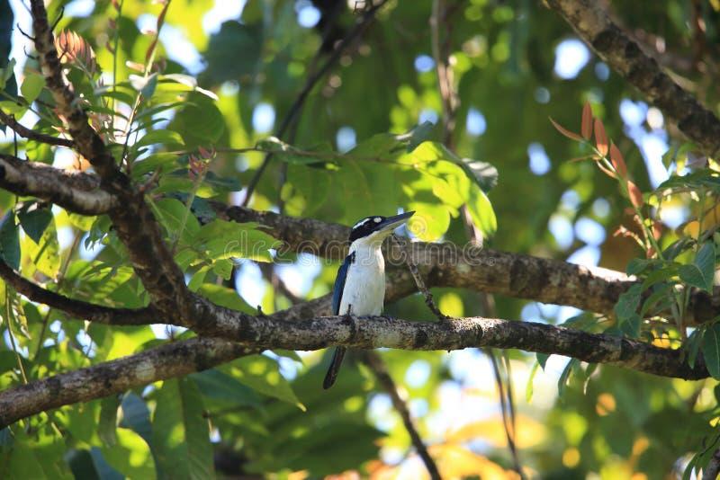严肃翠鸟在哈马黑拉岛海岛,印度尼西亚 图库摄影