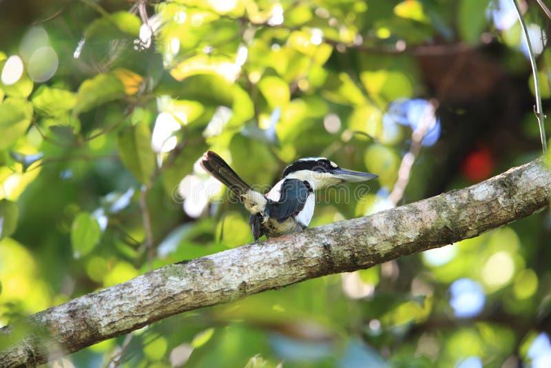 严肃翠鸟在哈马黑拉岛海岛,印度尼西亚 免版税库存图片