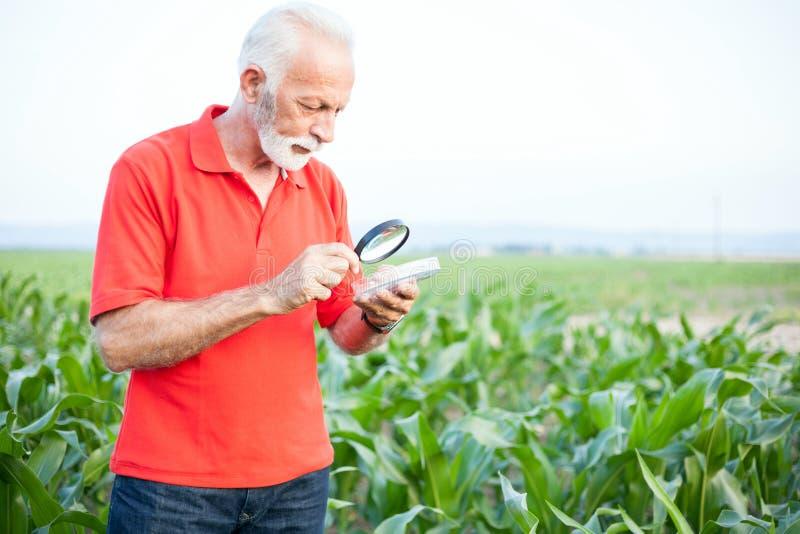 严肃资深,灰发,农艺师或农夫红色衬衣审查的玉米种子的与放大镜 免版税库存照片