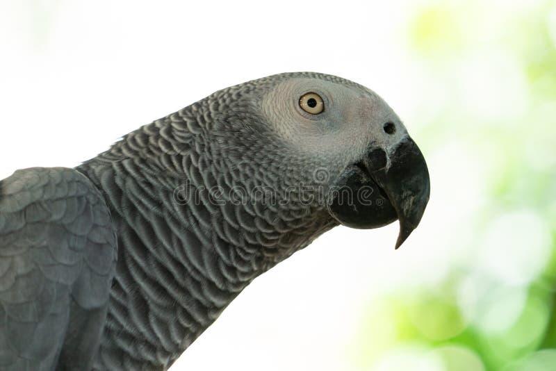 严重金刚鹦鹉鹦鹉,关闭栗子朝向的金刚鹦鹉 图库摄影