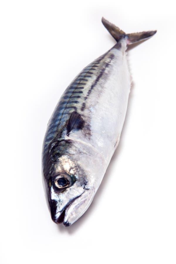 整个大西洋鲭鱼鱼 库存图片