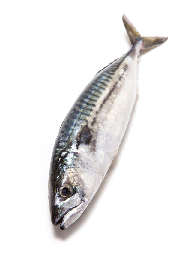 整个大西洋鲭鱼鱼 库存照片