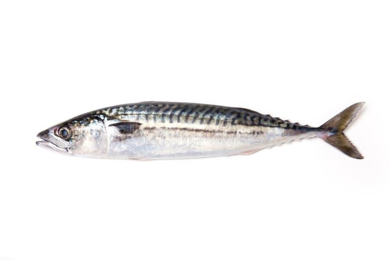整个大西洋鲭鱼鱼 免版税库存照片