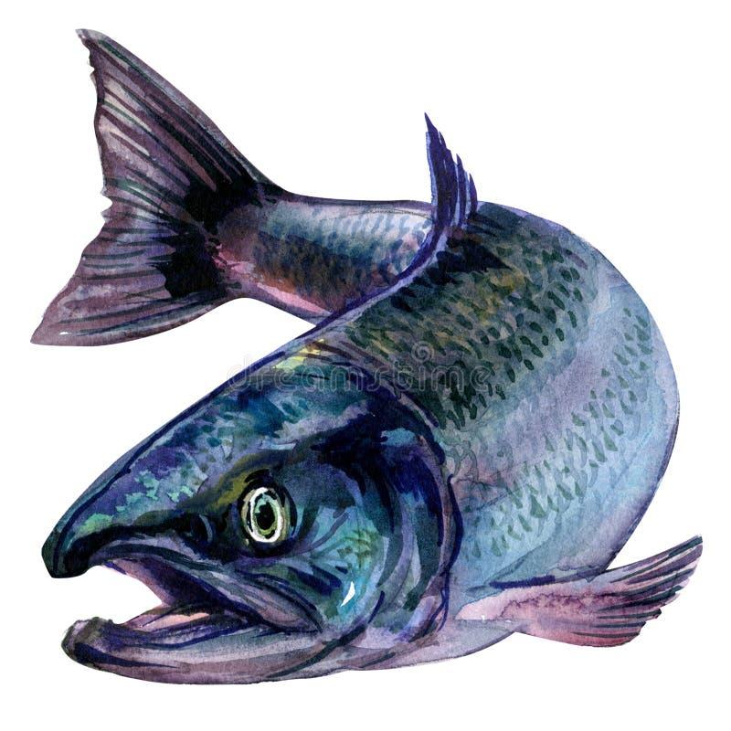整个新鲜的大西洋三文鱼钓鱼隔绝,在白色的水彩例证 向量例证