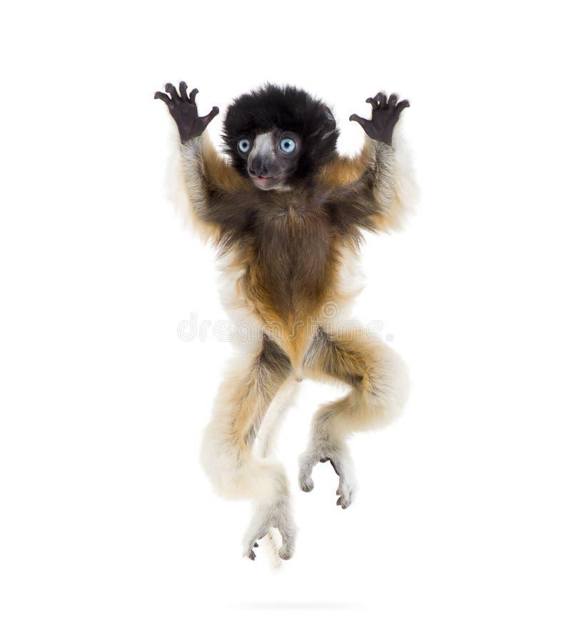 4个月婴孩跳跃反对白色的被加冠的Sifaka 免版税库存照片