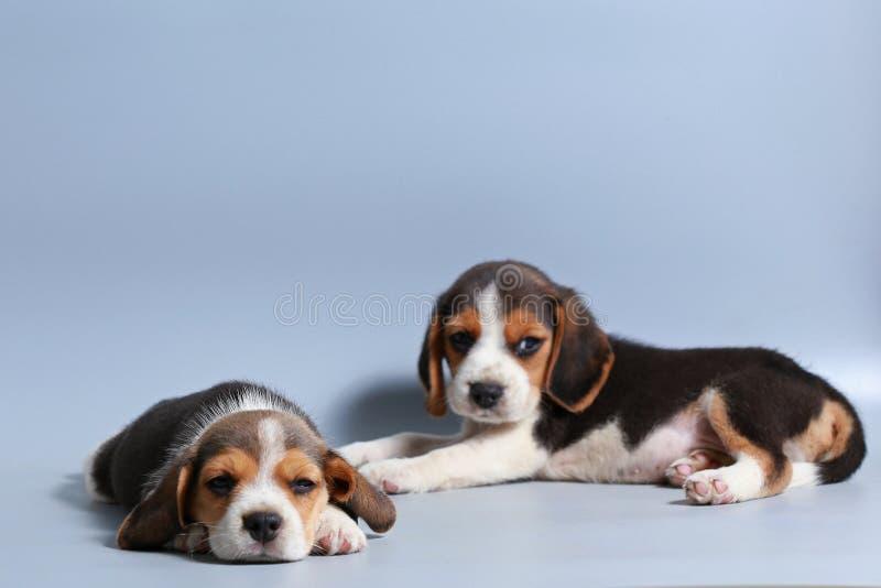 1个月纯净的品种小猎犬小狗 库存图片