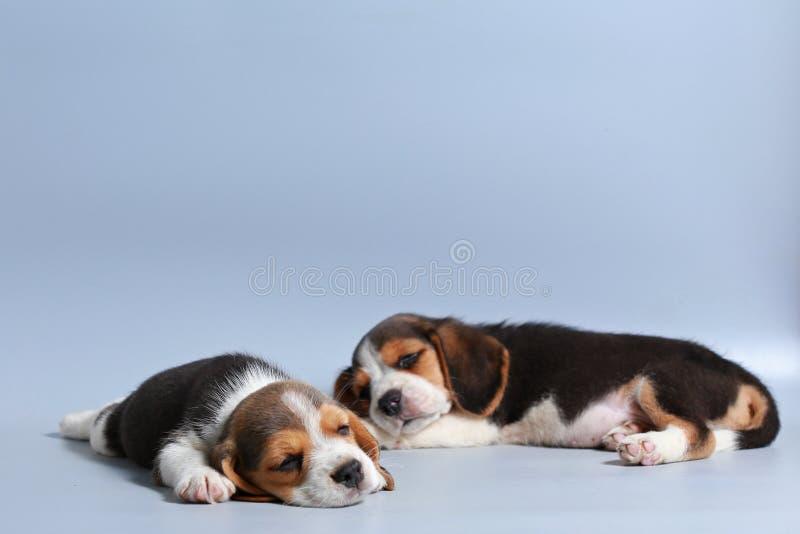 1个月纯净的品种小猎犬小狗 免版税库存图片