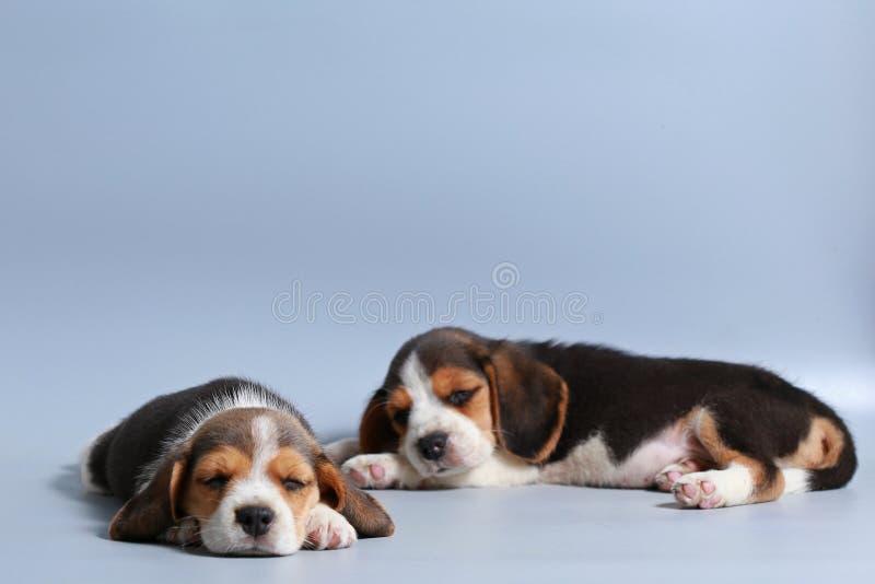 1个月纯净的品种小猎犬小狗 免版税库存照片