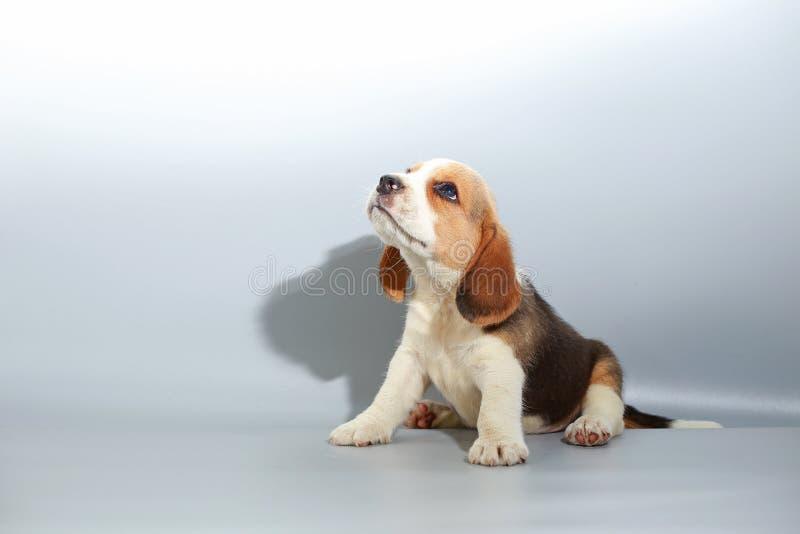 1个月纯净的品种小猎犬小狗 库存照片