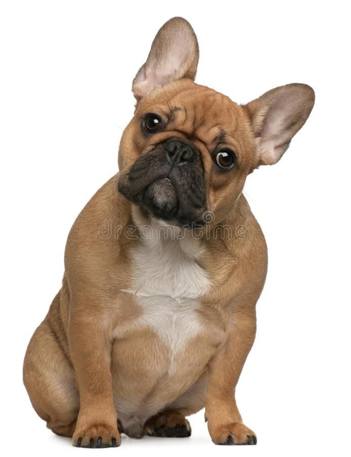 5个牛头犬法国月小狗 库存照片