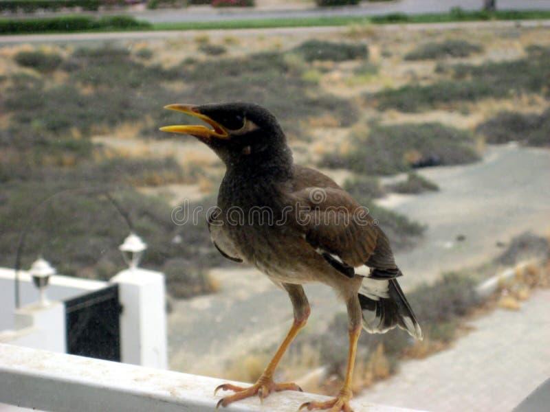 中东,美丽如画的鸟在马斯喀特阿曼在夏天 免版税库存图片