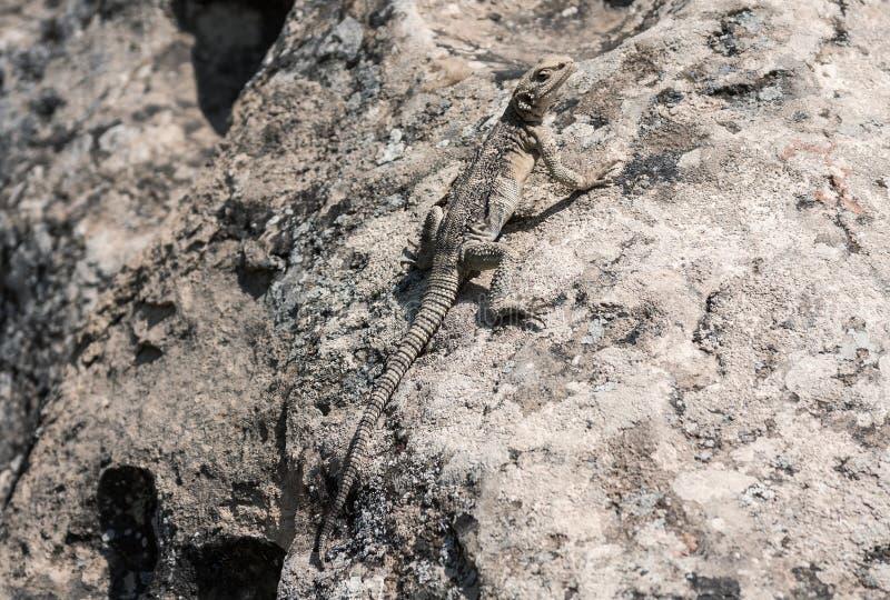 中亚沙漠显示器,在自然保护` Gobustan `的环境里,阿塞拜疆巨晰属griseus caspius 库存图片