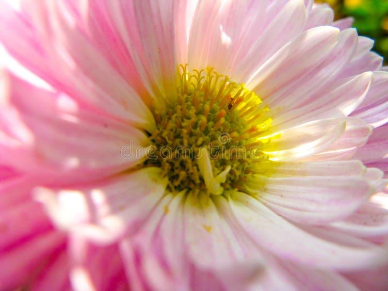中华白色和桃红色的Callistephus或翠菊花 库存图片