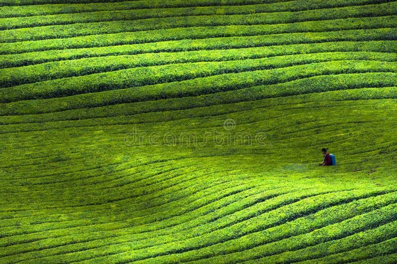 中国人贵州Pu红茶基地风景 库存照片