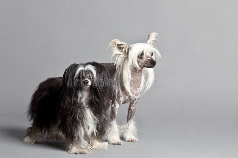 中国夫妇有顶饰狗 免版税库存图片