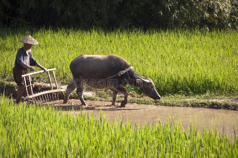 中国工作在米的农夫和他的水牛调遣 库存照片
