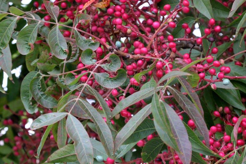 中国开心果、黄连中华与鳍类的化合物叶子和垂悬的束果树小红色结果实其中每一 免版税库存照片