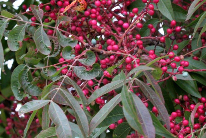 中国开心果、黄连中华与鳍类的化合物叶子和垂悬的束果树小红色结果实其中每一 库存图片