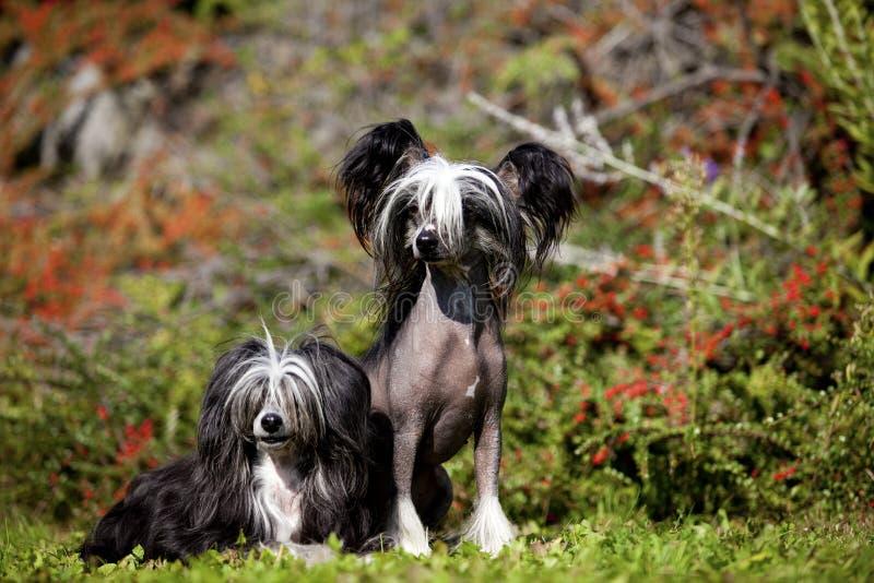 中国有顶饰无毛和Poderpuff狗 免版税库存照片