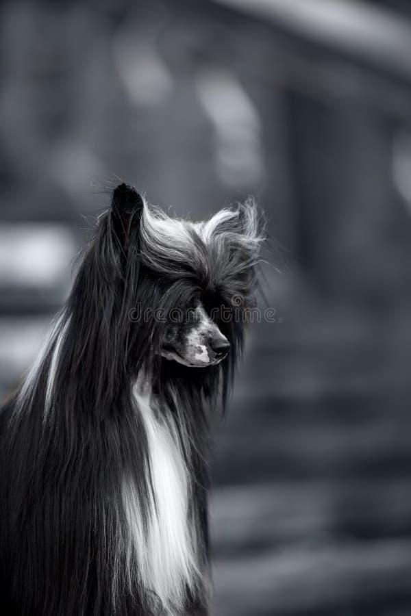 中国有顶饰狗在地面 在背景的黑台阶 库存图片