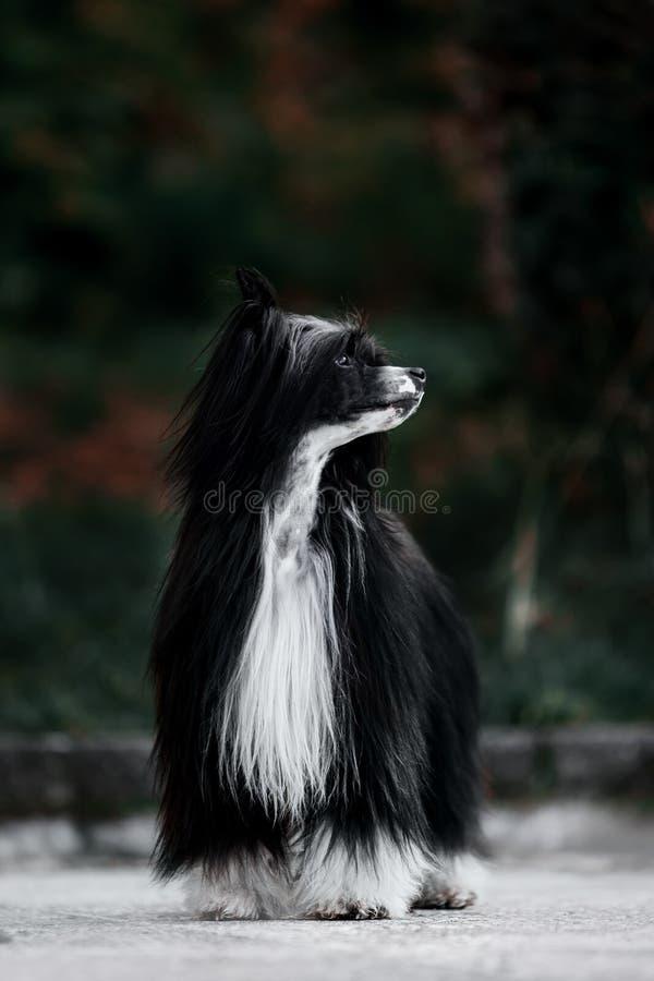 中国有顶饰狗在地面 背景的绿色公园 免版税库存图片