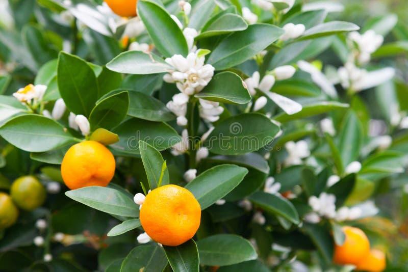 中国柑桔树用果子和开花 免版税库存照片