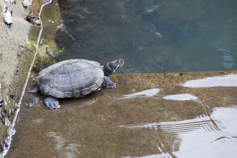 中国池塘乌龟 免版税库存照片