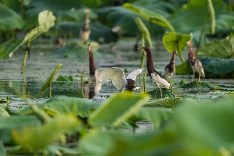 中国池塘苍鹭在荷花池 免版税库存照片
