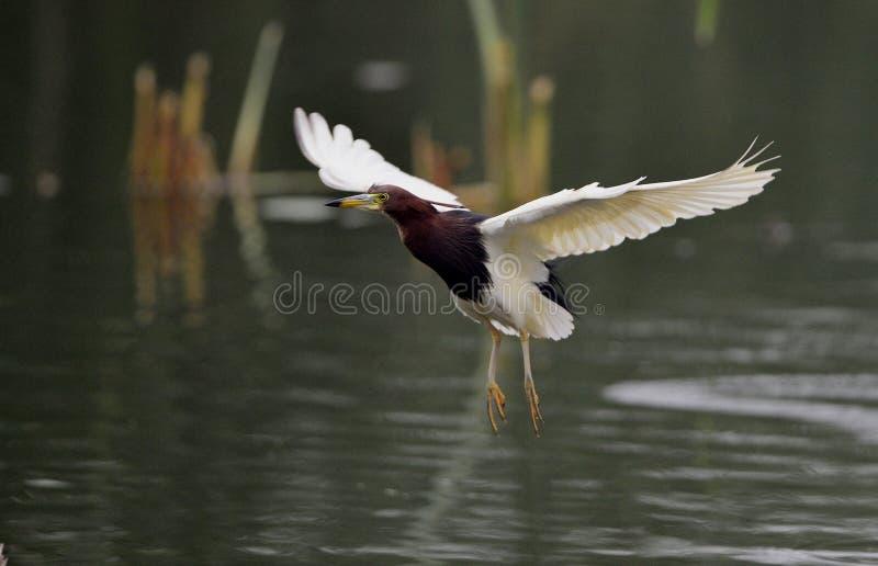 中国池塘苍鹭 免版税库存照片