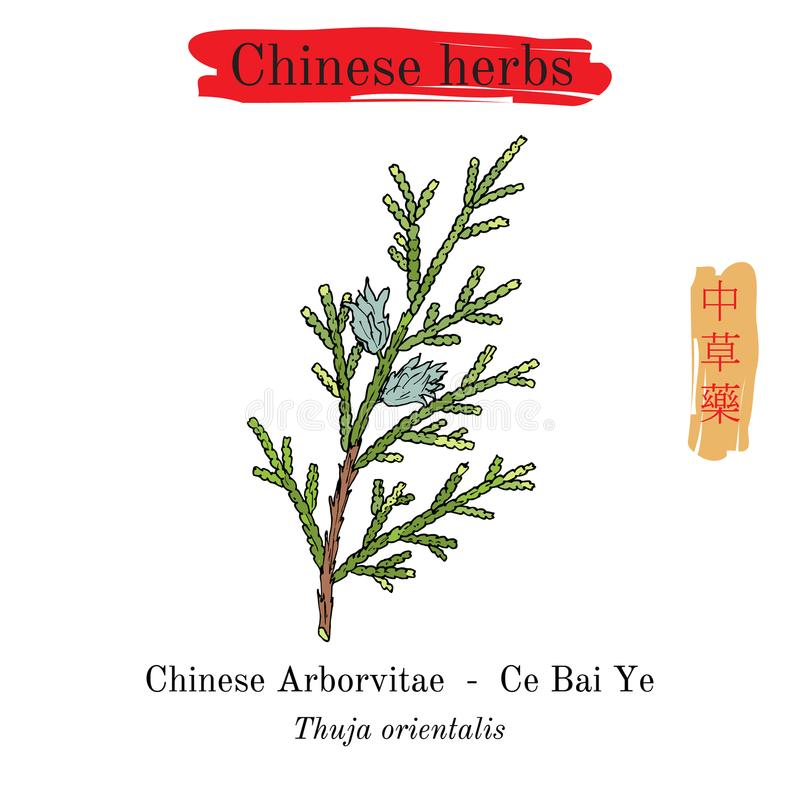 中国的医药草本 中国侧柏金钟柏orientalis 皇族释放例证
