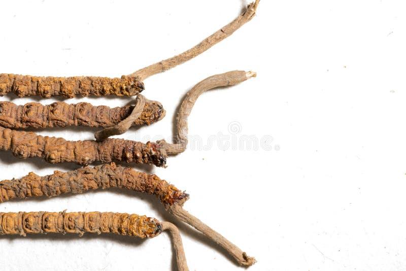 中国真菌cordyceps,中国民间医学 西藏草本和药物在喜马拉雅山收集 免版税库存图片