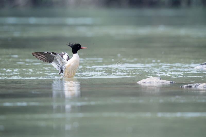 中国秋沙鸭mergus squamatus 库存照片