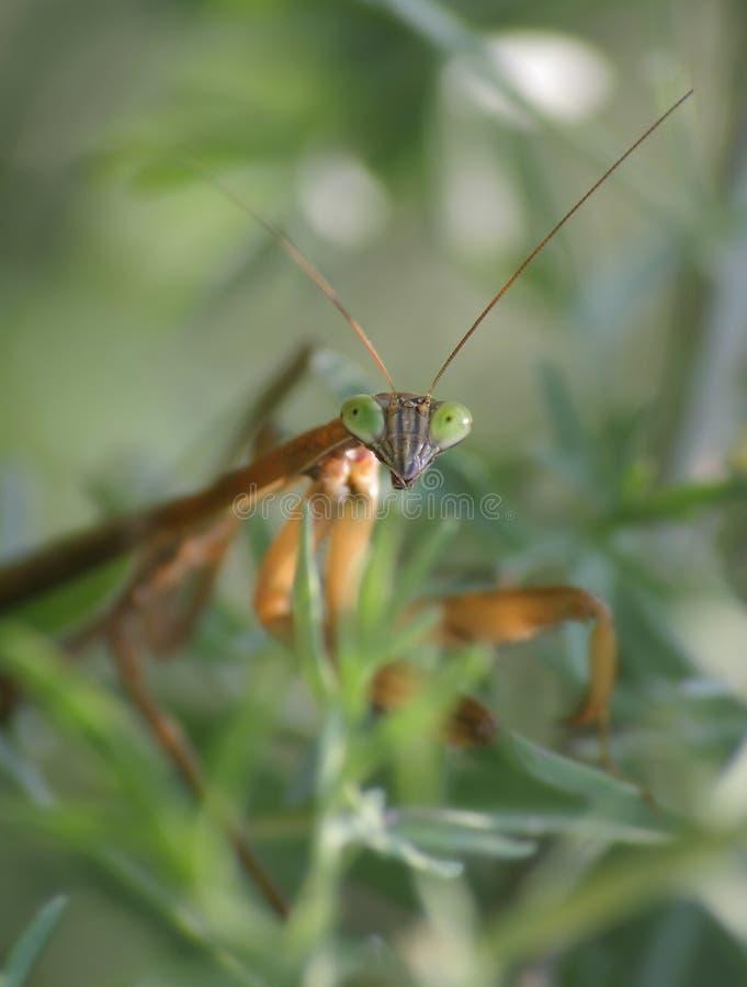 中国螳螂 图库摄影