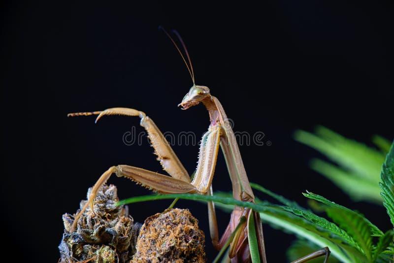 中国螳螂(Tenodera sinensis) iso的宏观细节 库存图片
