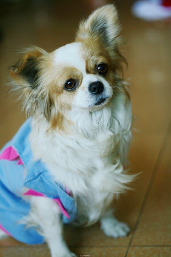 中国逗人喜爱的狗 免版税库存图片