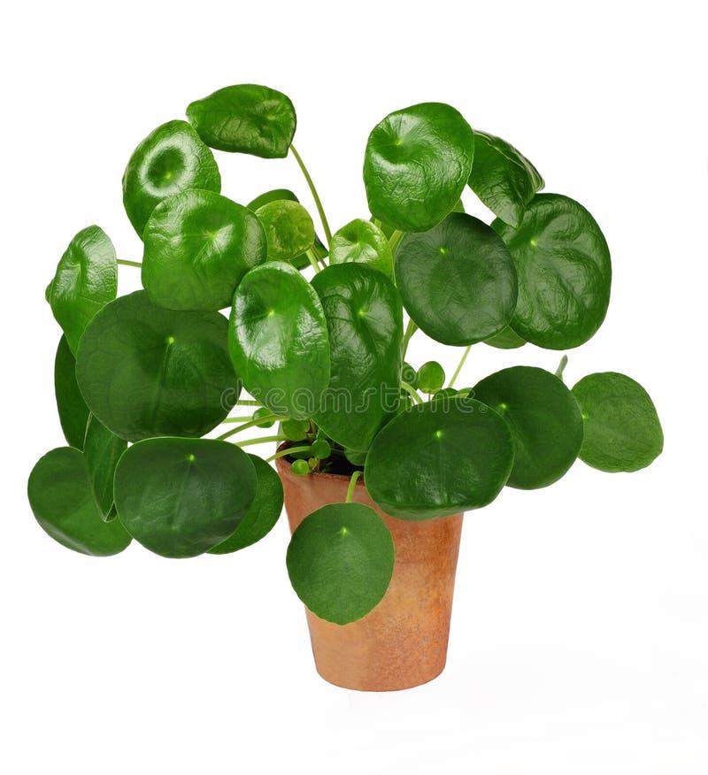 中国金钱植物或薄煎饼植物,冷水花属peperomioides,被隔绝在白色 免版税库存照片