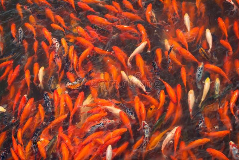 中国鱼在一个池塘在中国 免版税图库摄影