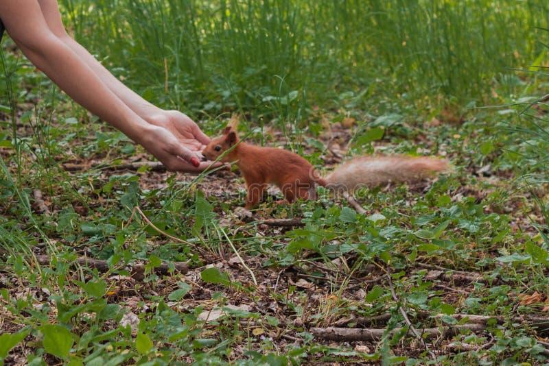 中型松鼠,红松鼠养育 勇敢的灰鼠 女孩喂养与坚果的一只灰鼠在森林灰鼠选择最大的坚果 库存照片