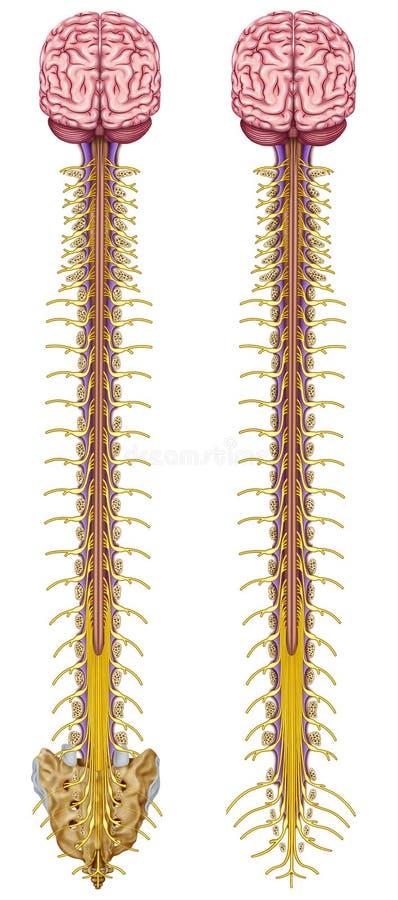 中央神经系统的例证 向量例证