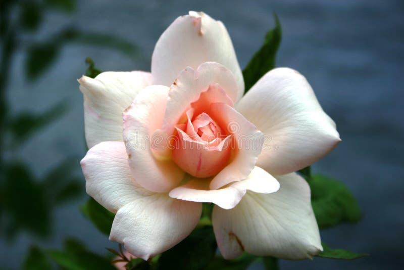 中心粉红色玫瑰白色 免版税库存图片